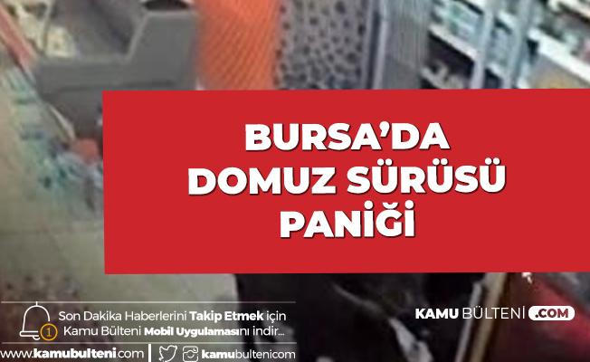 Bursa'da Domuz Sürüsü Paniği! Markete Daldılar