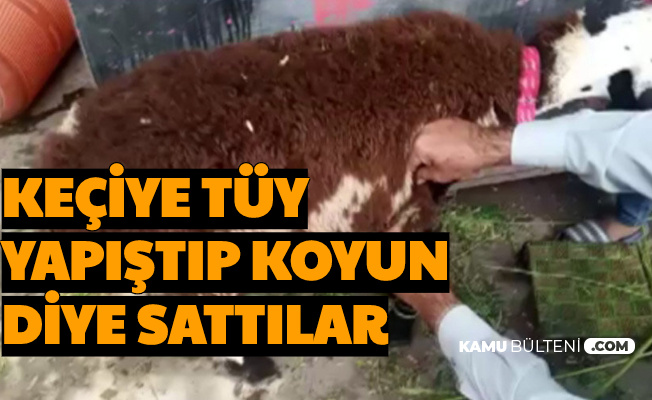 Kurbanlık Keçiye Tüy Yapıştırıp Koyun Diye Sattılar