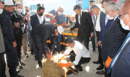 Malatya Valisi Baruş, koyun kırktı