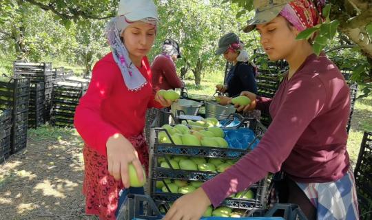 Bursa'da armut hasadında fiyatlar çiftçiyi mutlu etti