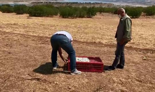 Ergani'de 300 sülün kuşu doğaya bırakıldı