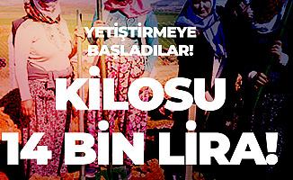 Kahramanmaraş'ta Yetiştirmeye Başladılar! Kilosu 14 Bin Lira