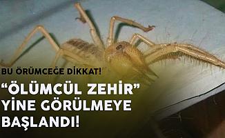 Bu Örümceğe Dikkat! Ölümcül Örümcek Korku Saçmaya Devam Ediyor
