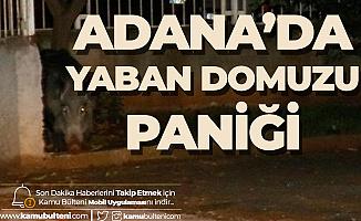 Adana'da Yaban Domuzu Paniği! Gece Saatlerinde Ortaya Çıktı...