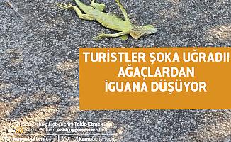 Turistler Şoka Uğradı! Ağaçtan İguana Düşüyor