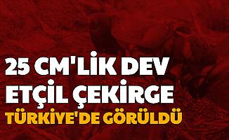 25 CM'lik Dev Etçil Çekirge Türkiye'de Görüldü