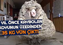 5 Yıl Önce Sürüden Ayrılan Koyun Geri Döndü: Üzerinden 35 Kilo Yün Çıktı