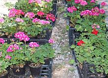 Çankaya'da çiçek satışına büyük ilgi