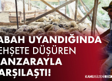 Gümüşhane'de Kurt Dehşeti! 103 koyunu telef etti, 43 koyunu yaraladı