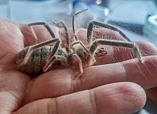 Hakkari'de yeni böğü böceği türü keşfedildi