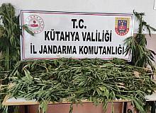 Kütahya'da 90 kök kenevir bitkisi ele geçirildi