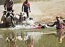 Asırlık gelenek başladı, kınalı koçlar suya atlamak için sıralandı