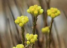 Dünyada 11 adet kalan 'Aydın Ölmez Çiçeği' korunmayı bekliyor