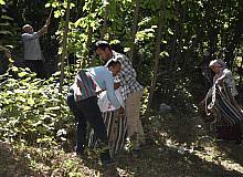 Hizan fındığının hasadına başlandı