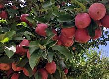 Doğanşehir elmasında hasat zamanı