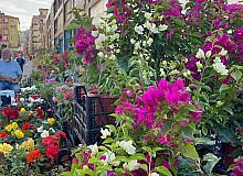 Dünya'nın çiçekleri Yalova'dan gidiyor