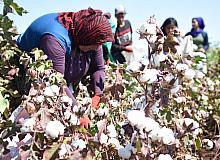 (Özel) Şanlıurfa'da şarkılı türkülü pamuk hasadı