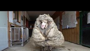 5 Yıl Önce Kaybolan Koyun Kırkıldı: 35 Kilo Yün Çıktı